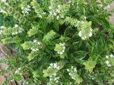 6 mirodenii vindecătoare