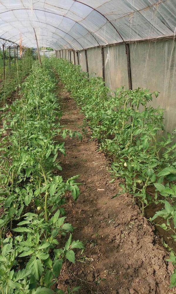 Grădină cu solar de roșii