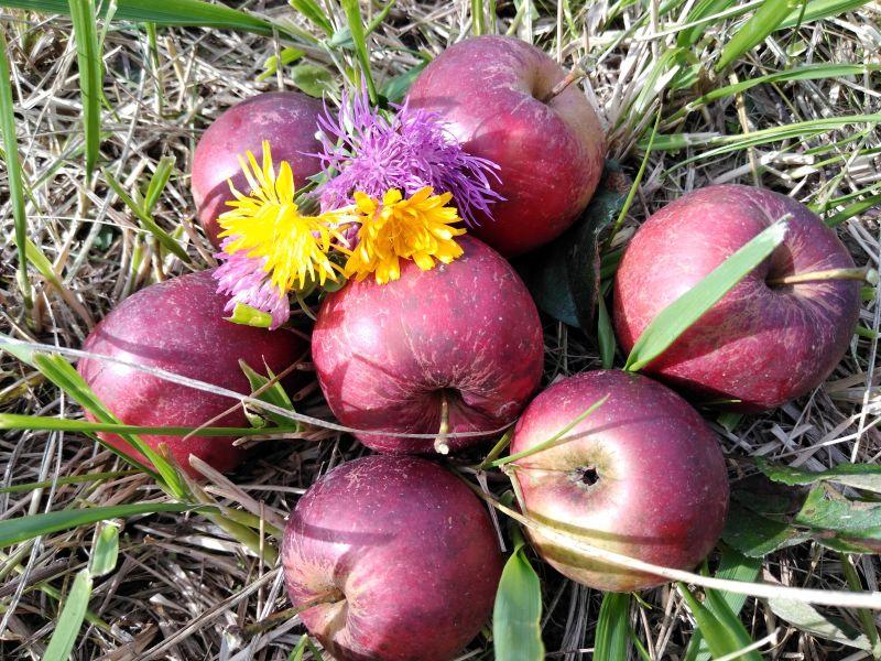 Miracolul toamnei - Culesul merelor