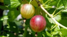 Agrișele - beneficii și proprietăți