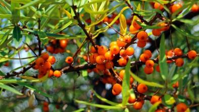5 fructe de pădure folosite în tratarea afecțiunilor de sănătate