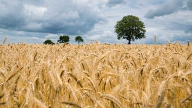 Grâul - beneficii, utilizări și conținut
