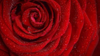 Trandafir şi ulei de trandafir