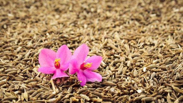 Chimenul și chimionul - beneficii, utilizări și proprietăți